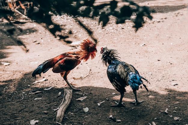 De hanen vechten.