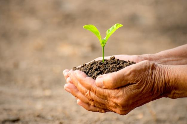 De hannds van de oude vrouw planten de zaailingen in de grond.