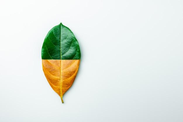 De helft groene en bruine droge bladeren op witte achtergrond.