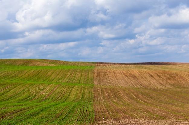 De helft van het veld met gekiemde spruiten van tarwe na het zaaien, wintervariëteiten van planten
