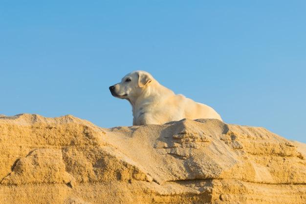 De herdershond van shetland op het strand