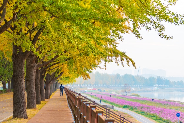 De herfst in asan gingko tree road in seoel, zuid-korea.