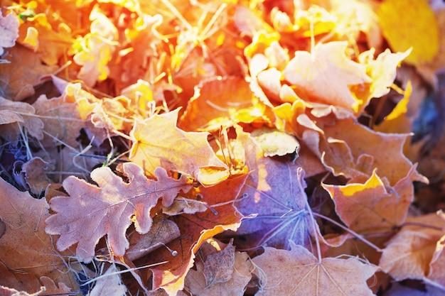De herfstachtergrond met bladeren in de vorst