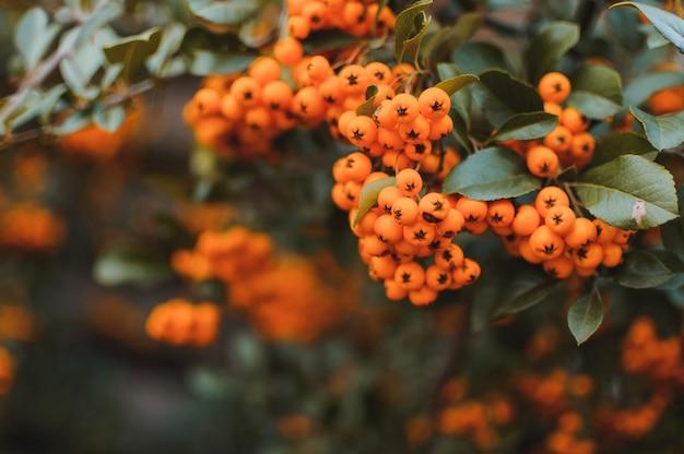 De herfstachtergrond met oranje rijpe duindoorn
