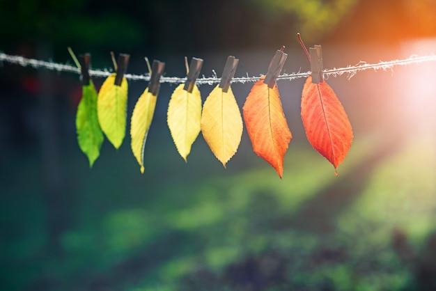 De herfstbladeren gaan over van groen naar rood op houten wasknijpers en kant.