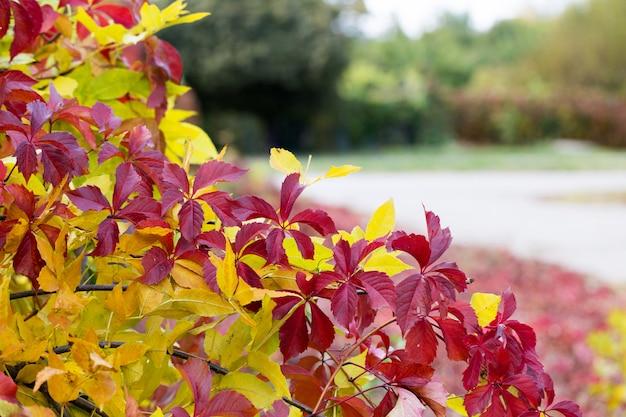 De herfstbladeren op een vaag gebladerte als achtergrond, rood en gelei.