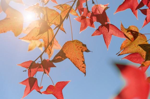De herfstbladeren, zeer ondiepe nadruk, esdoornblad en blauwe hemel in azië