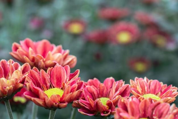 De herfstbloem, close-upmacro van rode chrysantenbloem wordt geschoten in de tuin die
