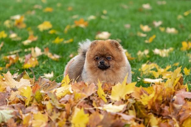 De herfstportret van een jonge pomeranian-spitz hond op het gras in gele gevallen bladeren.