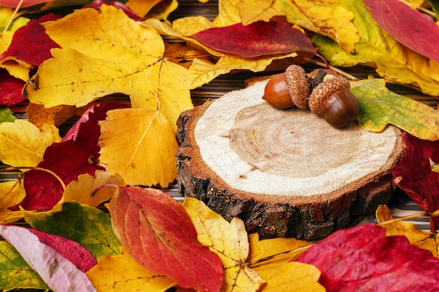 De herfstsamenstelling met rond eikels en esdoorn gele bladeren. selectieve aandacht.