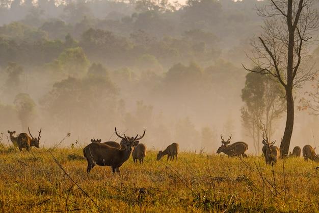 De herten van de familiezonsondergang bij de provincie van thung kramang chaiyaphum, thailand