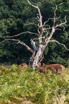 De herten van richmond park