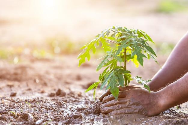 De holdingsgrond van de hand en het planten van jonge papajaboom in grond. bewaar wereld en ecologie concept
