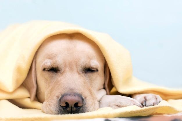 De hond bevroor en koesterde zich in een gezellige gele deken. het concept van comfort in het koude seizoen.