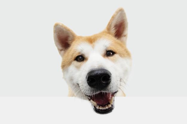 De hond hangende mond van portret gelukkige akita op spatie. geïsoleerd op witte ruimte.