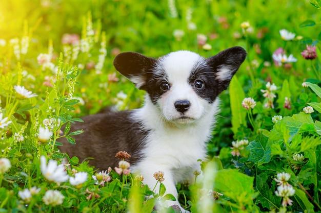De hond is een corgi-puppy in het gras