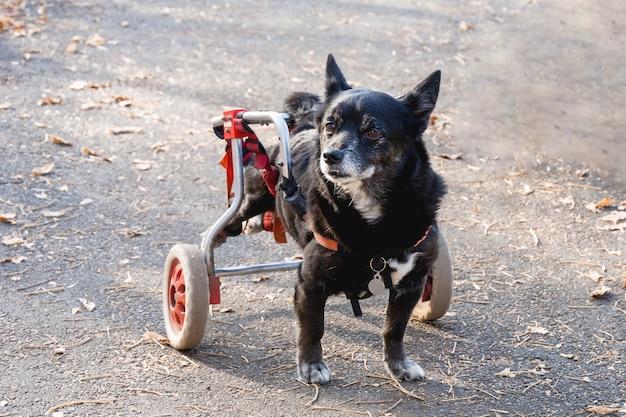De hond is gehandicapt, beweegt in een rolstoel.