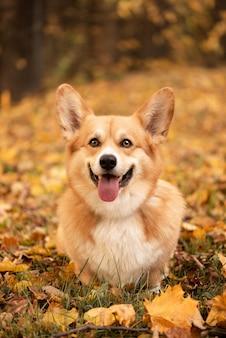 De hond kijkt naar de camera en glimlacht