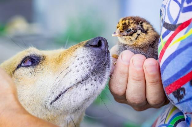 De hond kijkt naar de kleine kip die de vrouw in haar handen houdt