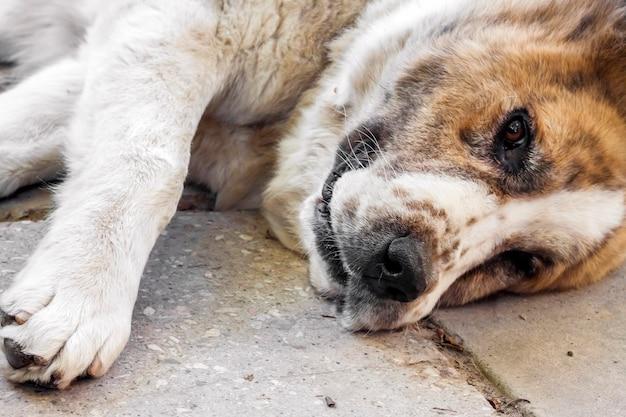 De hond ligt op de betonnen stoep. ras centraal-aziatische herdershond (alabai)