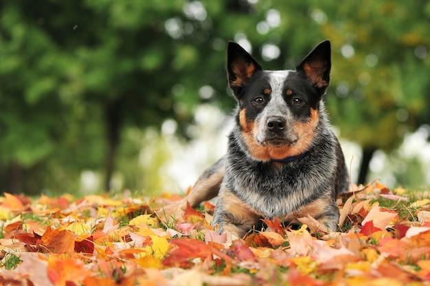 De hond ligt op de grond in de bladeren in het park