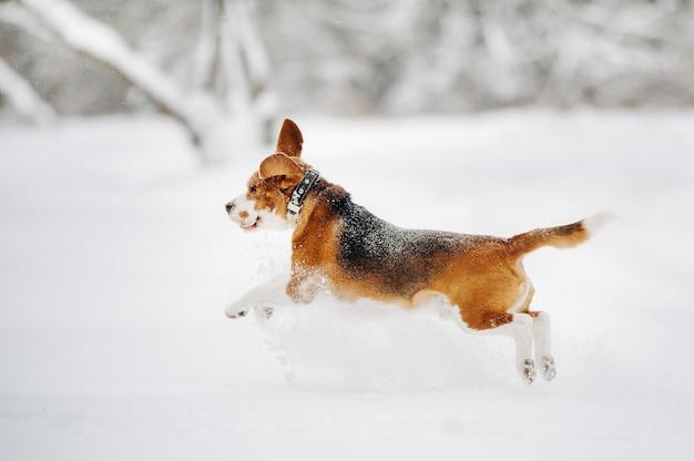 De hond loopt in de winter in de natuur.beagle loopt in de sneeuw tijdens de vlucht.
