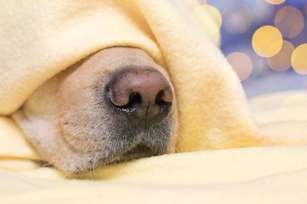 De hond slaapt onder een gele plaid. neus close-up. het concept van comfort, warmte, herfst.