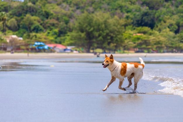 De hond speelt op het strand.