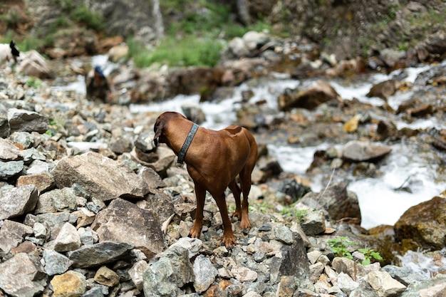 De hond staat op de rotsen naast een bergrivier