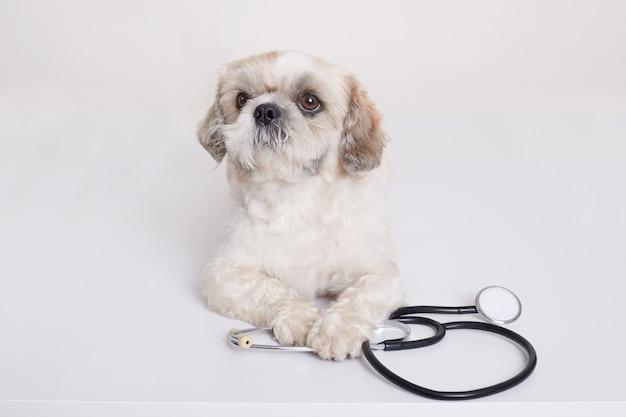 De hond van het pekineespuppy met stethoscoop dichtbij zijn poten het stellen