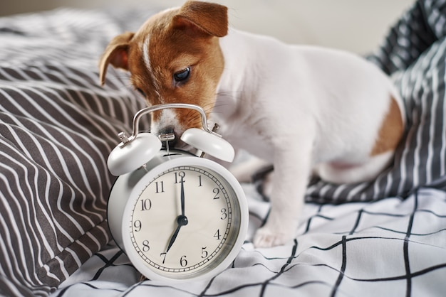 De hond van jack russell terrier knabbelt aan uitstekende wekker in bed. wakker worden en ochtendconcept