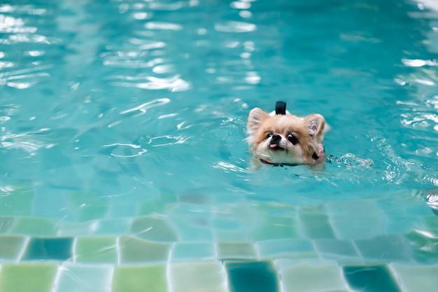 De hond van pomeranian draagt reddingsvest en zwemt in zwembad