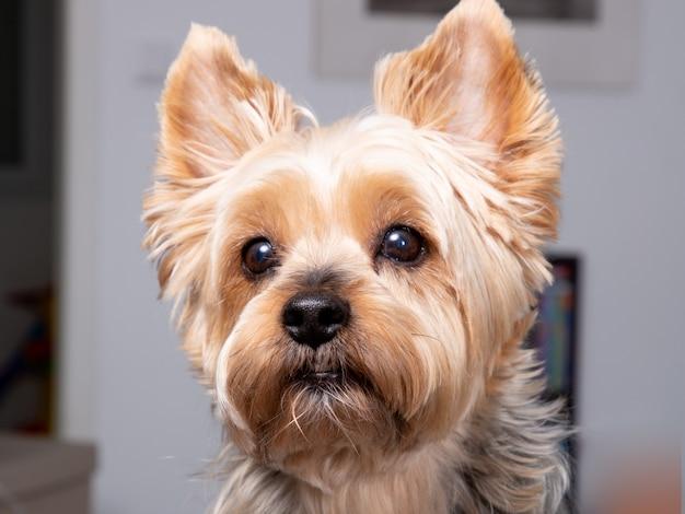 De hond van portretyorkshire terrier kijkt thuis camera