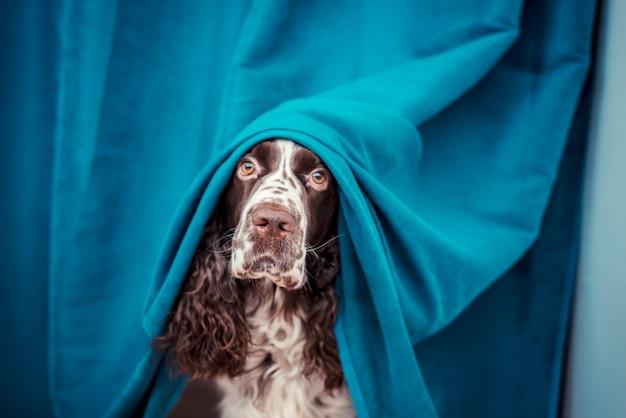 De hond verstopt zich achter de gordijnen van de eigenaar, omdat het zijn huishoudelijke spullen heeft verpest.