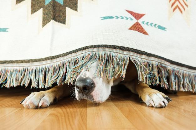 De hond verstopt zich onder de bank en is bang om naar buiten te gaan. het concept van de angst van de hond voor onweer, vuurwerk en harde geluiden. geestelijke gezondheid van huisdier, overmatige emotionaliteit, gevoelens van onveiligheid.