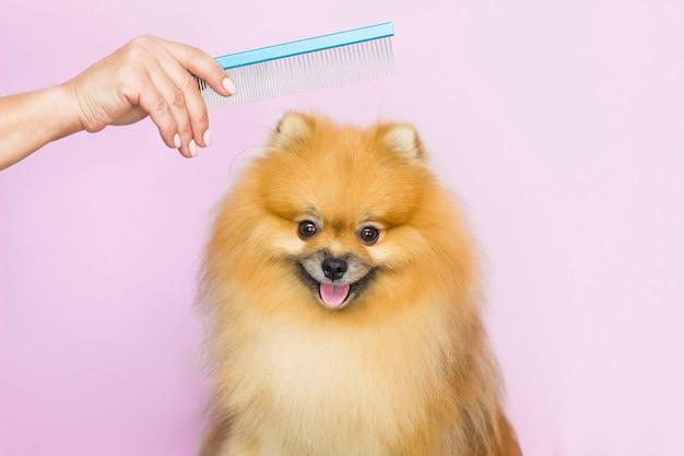 De hond wordt geknipt bij de dierentrimsalon in de spa. close-up van een hond. de hond heeft een kapsel. kam je haar. roze achtergrond. trimsalon concept.