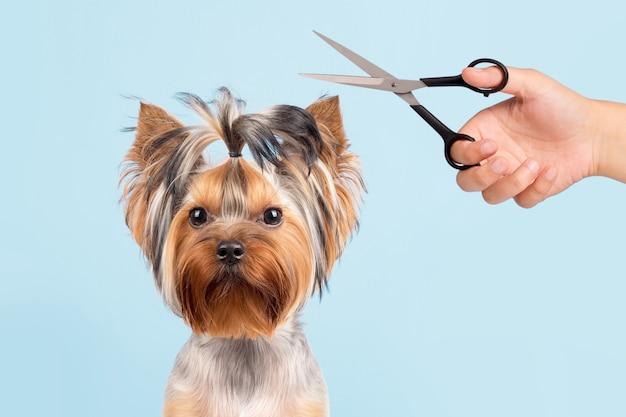 De hond wordt in de salon geknipt. de hond is getrimd met een schaar. blauwe achtergrond. groomer-concept