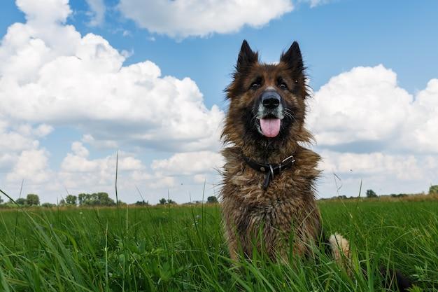 De hond zit in het groene gras tegen een blauwe lucht met wolken.