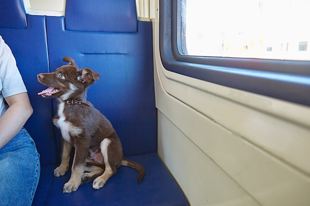 De hond zit op de stoel in de trein en kijkt naar de eigenaar het concept van reizen met dieren