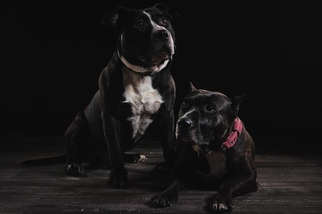 De honden in de studio