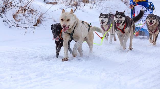 De honden in het tuig die een slee trekken tijdens wedstrijden in de winter