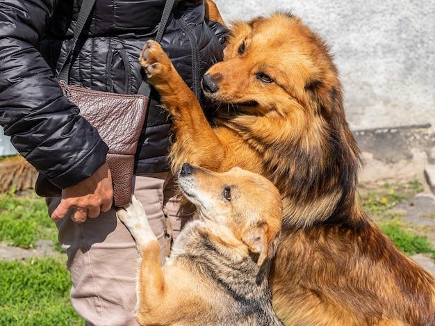 De honden ontmoeten hun minnares, die naar huis is teruggekeerd. honden knuffelen een vrouw en tonen hun vreugde