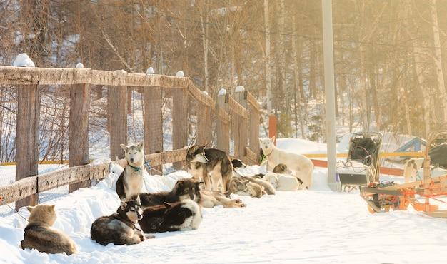 De honden ontspannen voor de start van de hondenslederace