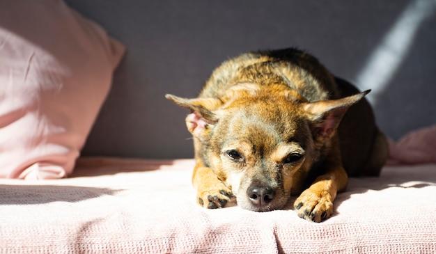De hondenspeelgoedterriër ligt verveeld op de bank en kijkt in het frame