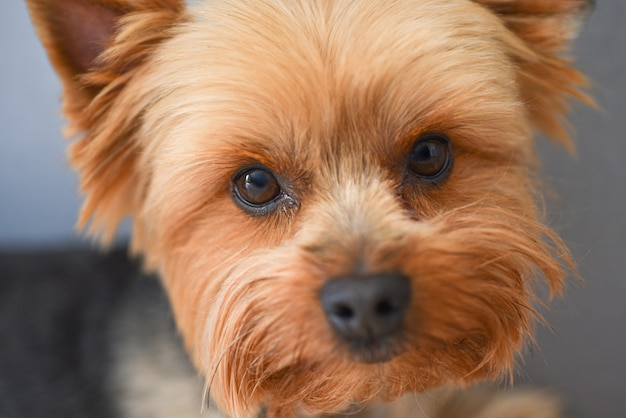 De hondportret van yorkshire terrier, close-up