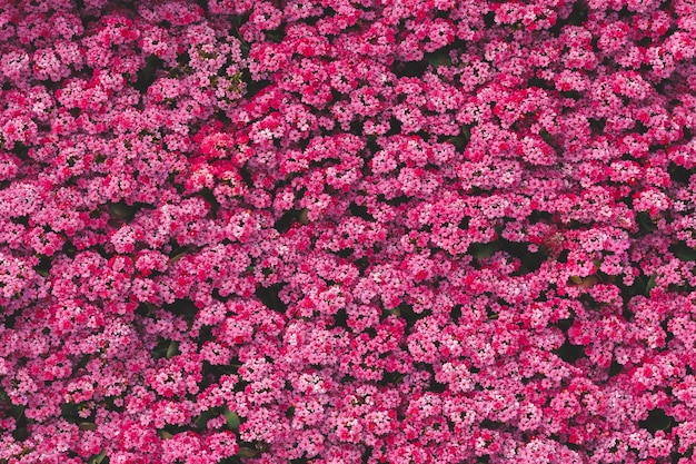 De hoogste achtergrond van het de tuinpatroon van de menings verse roze bloem