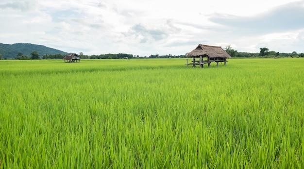 De hut is gemaakt van zink. cabine in rijstveld.