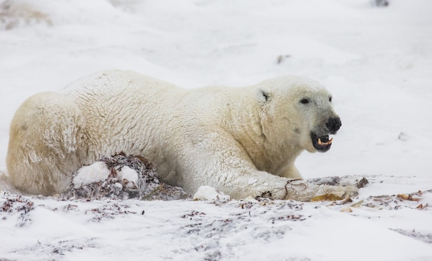 De ijsbeer ligt in de sneeuw in de toendra. canada. churchill nationaal park.