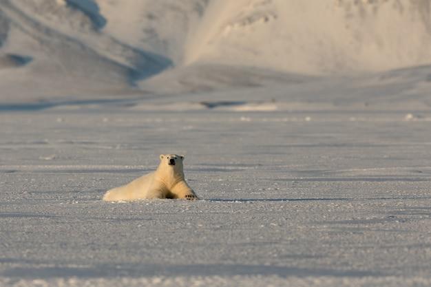 De ijsbeer rust op het ijs in svalbard