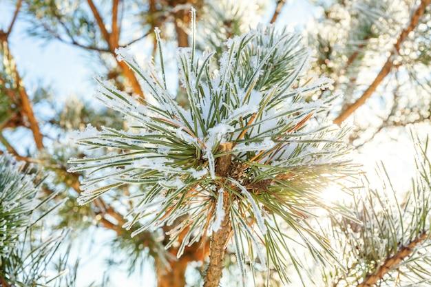 De ijzige tak van de pijnboomboom in sneeuwbos. koud weer in zonnige ochtend